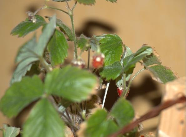 Pied de fraise avec un circuit oscillant