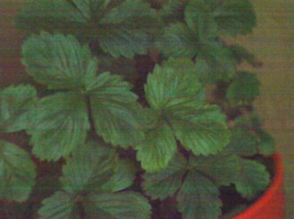Pieds de fraise sans circuit oscillant Lakhovsky